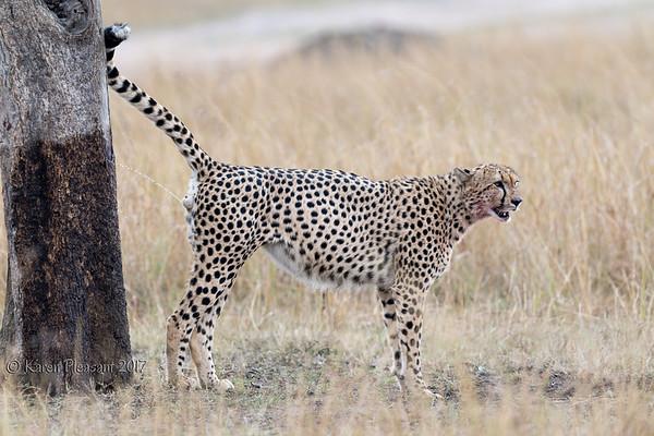 Cheetah marking territory
