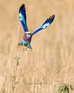 Lilac=-breasted roller in flight