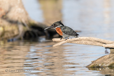 Giant Kingfisher - Ready to DIVE!
