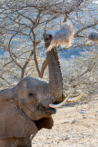 Elephant eating nest