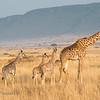 Maasai Mara giraffes