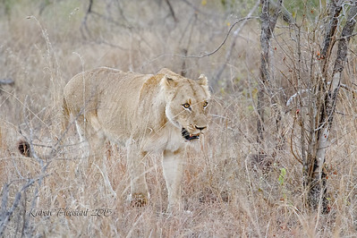 Southern Pride female Lion