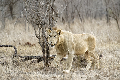 Sparta male Lion