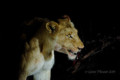 Southern Pride female at Cape Buffalo kill