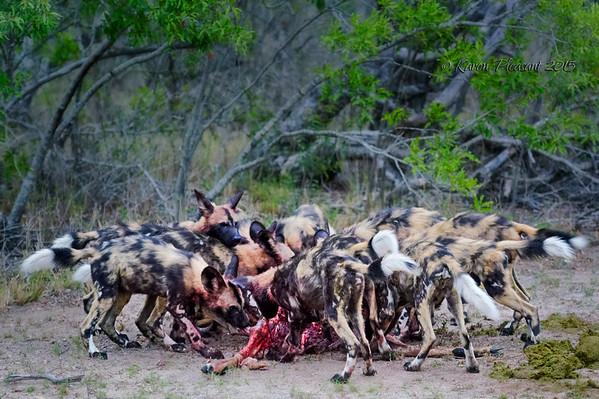 African Wild pups feeding on an impala kill