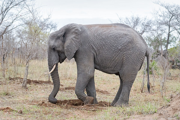 Elephant using trunk and foot