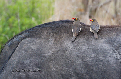 Ox pecker on Cape buffalo