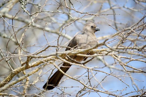 Grey Go Away bird