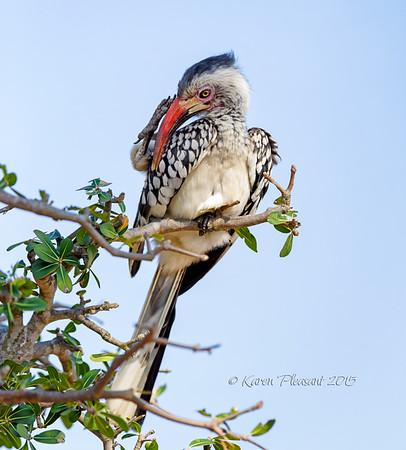 Red-billed Hornbill