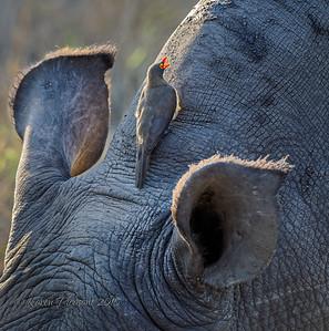 Ox Pecker on White Rhinoceros