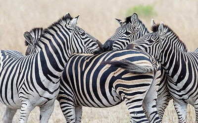 Zebras, South Africa