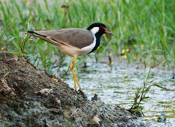 Redwattled Lapwing