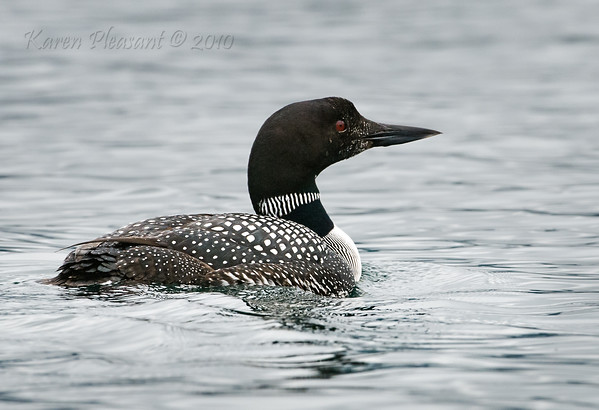 Common Loon, Kinaskan Provincial Park