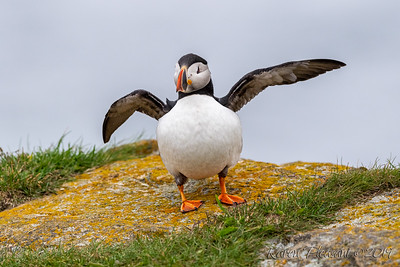 Puffin dance moves