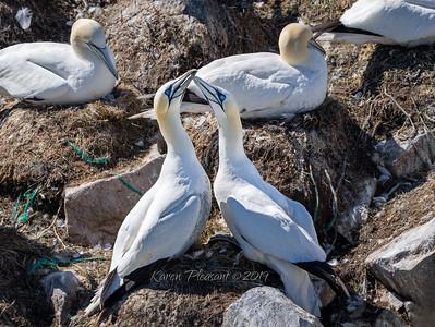 Gannet affection