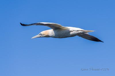 Gannet in flight