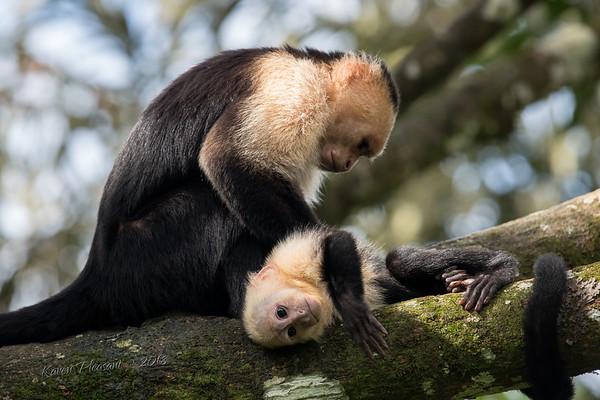 White  faced Capuchin monkey