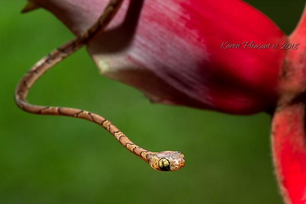 Mexican vine snake
