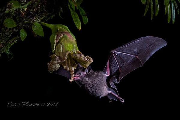 Pallas's long tongued bat
