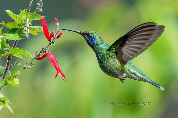 Lesser Violetear juvinile