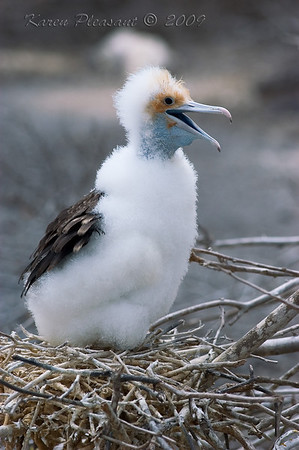 Frigate chick