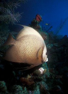 Gray Angelfish, Beliz