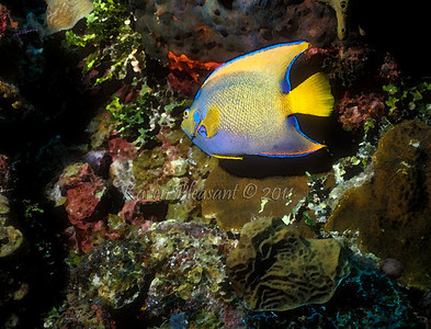 Blue Angelfish, Belize