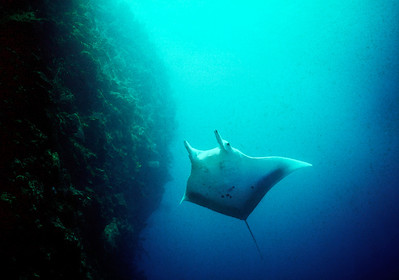 Molly the Manta Ray, Grand Cayman