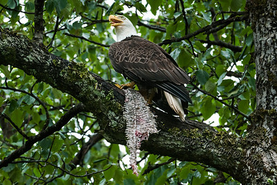 Can an eagle yodel...?