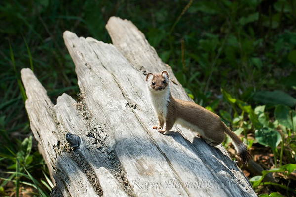 Weasel, Kroeschel Wildlife Sanctuary