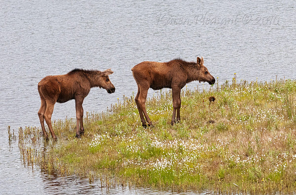 Moose Twins, Denali NP
