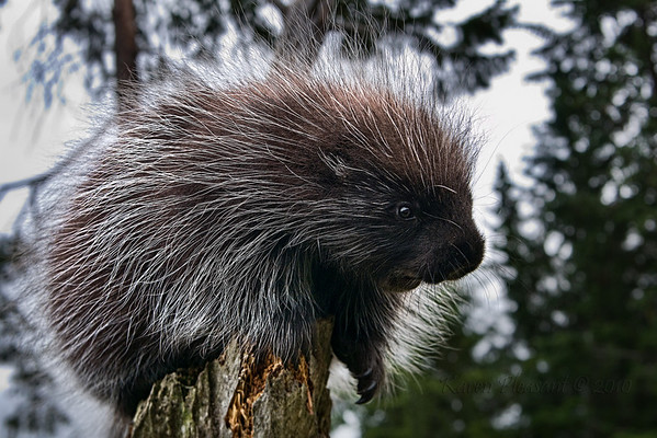 Porcupine (captive), Kroeschel Wildlife Sanctuary