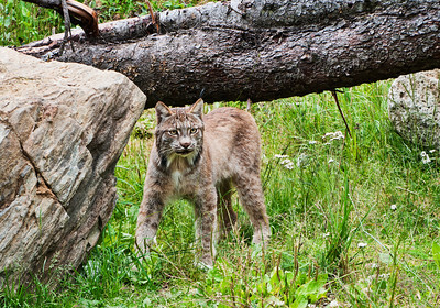 Lynx (captive), Kroeschel Wildlife Sanctuary
