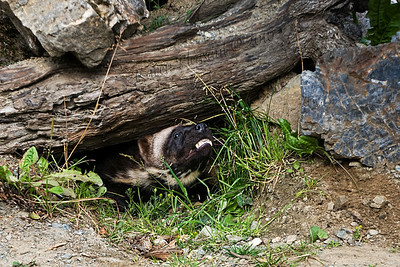 Wolverine (captive), Kroeschel Wildlife Sanctuary