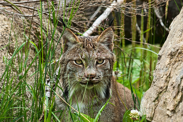 Lynx, Kroeschel Wildlife Sanctuary