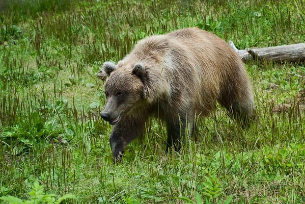 Grizzly bear,  (captive), Kroeschel Wildlife Sanctuary