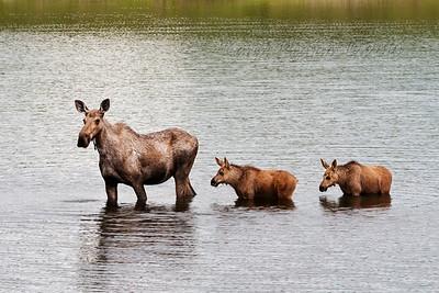 Moose Twins, Denali NP