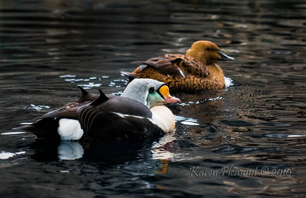 King Eider (male foreground and female in background)