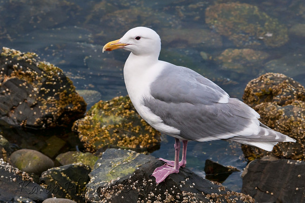 Sea Gull, Cordova, Alaska