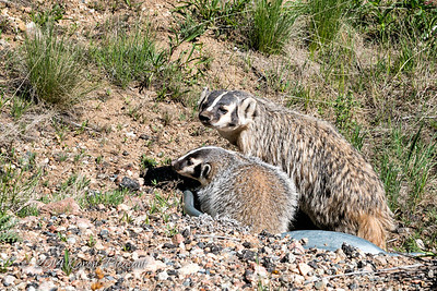 Momma Badger and baby, South Park, Colorado