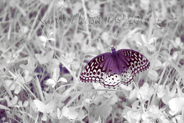 Butterfly, Cades Cove, Smokey Mountain NP