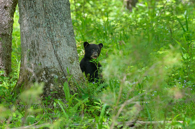 Black Bear Cub, Smokey Mountains National Park, Tn