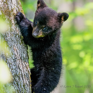 Black Bear cub, Smokey Mountains National park
