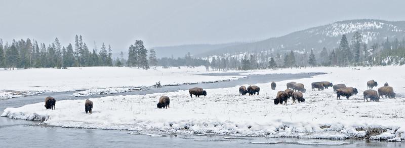 Buffalo in winter