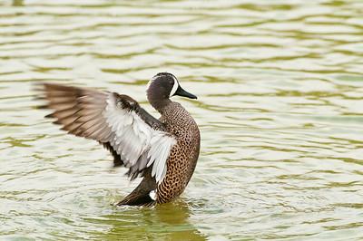 Preening Duck