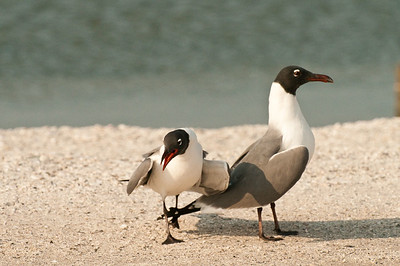 Mating Black Capped Gulls