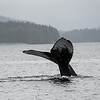Humpback whale tail waving