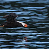 tufted puffin fly over