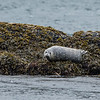 Harbor seal off Port Lion