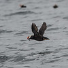 Tufted puffin returning to nest with fish
